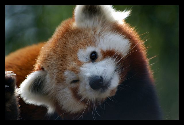 redpandawink71116947115.jpg